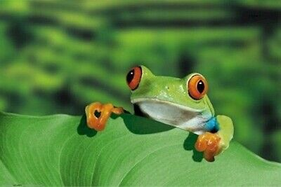 Red Eyed Tree Frog ~ Solo On Leaf ~ 24X36 Nature Poster