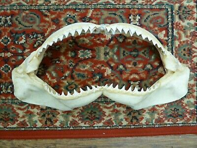 "22-5/8"" BULL SHARK jaw sharks jaws teeth taxidermy science Nice sj30-50"