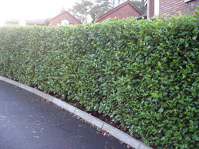 50 Griselinia Evergreen Hedging Plants, New Zealand Laurel.Grows 60cm+ / Year
