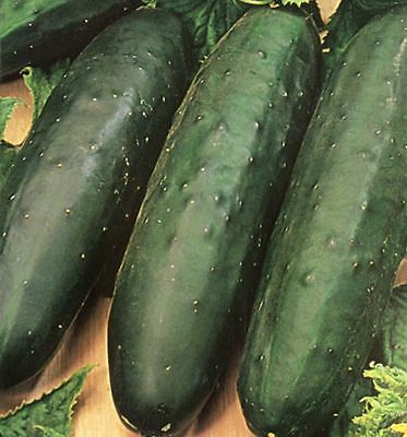 Vegetable  Cucumber Marketmore 76  130 Finest Seeds (Indoor & Outdoor)