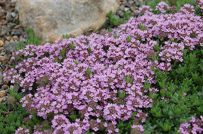 HERB  THYME PURPLE CREEPING  THYMUS SERPYLLUM  0.75 Gm ~ 5250 SEEDS
