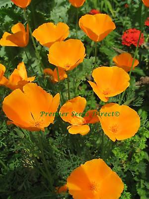Flower California Poppy Golden West 2000 Flower Seeds