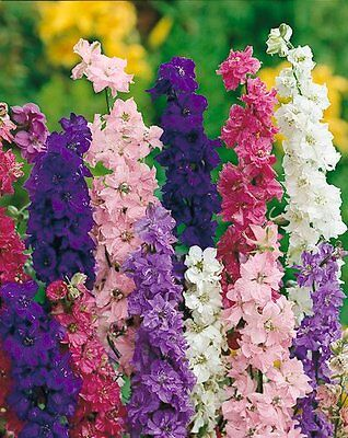 Flower Larkspur Giant Imperial Mix - 600 Seeds