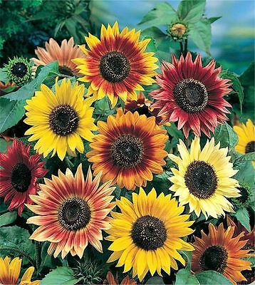 Flower Sunflower Autumn Beauty 160 Finest Seeds