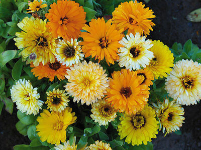Flower Calendula Fiesta Gitana Mix  700 Seeds