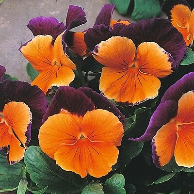 Flower Pansy (Winter Hardy) Jolly Joker F2  60 Seeds