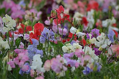 Flower Sweet Pea Spencer Mix 155 Finest Seeds