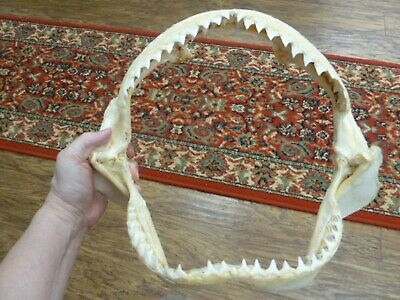 "(sj30-120-1) 14"" BULL SHARK A grade jaw teeth taxidermy love sharks ichthyology"