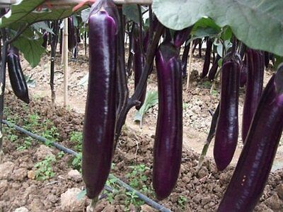 Organic  Vegetable  Aubergine   Long Purple  150 Seeds