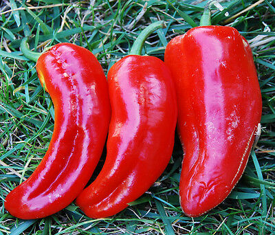 Organic Vegetable Sweet Pepper Marconi Red 60 Seeds