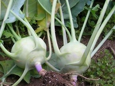 Vegetable  Kohlrabi Early White Vienna  400 Seeds