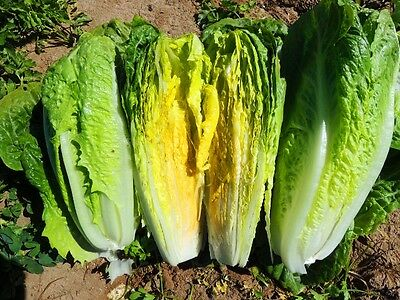 Organic Vegetable  Lettuce Romaine Paris Island Cos  1000 Seeds