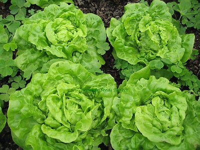 Organic Vegetable  Lettuce Tom Thumb  800 Finest Seeds