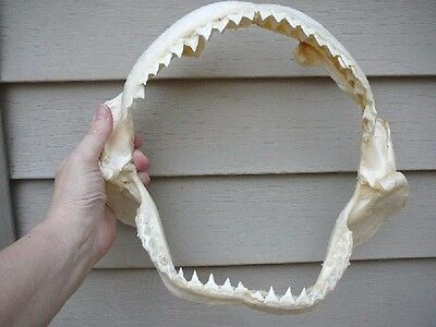 "(sj30-140) 12"" BULL SHARK jaw sharks jaws teeth taxidermy science ichthyology"