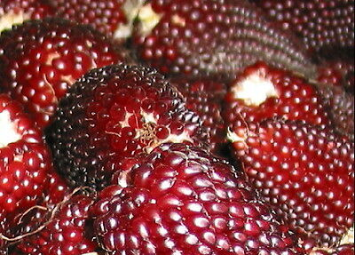 Vegetable  Red Popping Corn Strawberry 50 Seeds