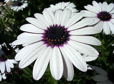 Flower Osteospermum Ecklonis Sky And Ice 60 Flower Seeds