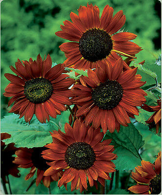 Flower Sunflower Velvet Queen 40 Finest Seeds