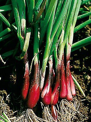 Vegetable Onion Spring North Holland Blood Red Redmate 400 Seeds **Free Uk P&P**