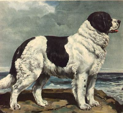 Newfoundland - Dog Art Print - Megargee MATTED
