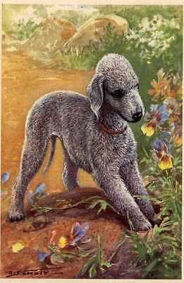 Bedlington Terrier - MATTED Dog Art Print - German / NEW U