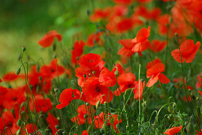 Flower Corn Red Field Poppy 12 Gram 84,000 Seeds - Flanders - Papaver Rhoeas