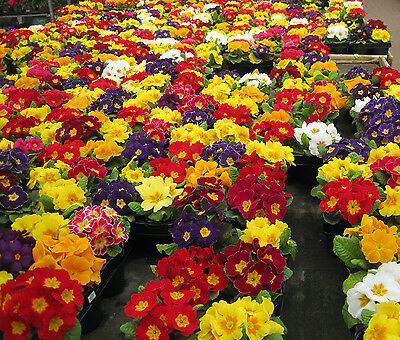 Flower Polyanthus Crown Exhibition Strain Mixed - 250 Flower Seeds