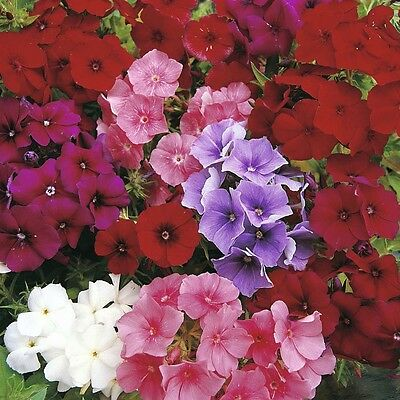 Flower Phlox Drumondii Beauty Mix - 400 Flower Seeds