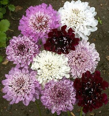 Flower Pincushion Flower Imperial Mix 0.75Gm ~ 300 Seeds Scabiosa Atropurpurea