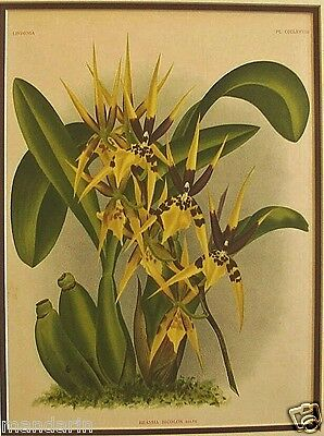 Antique ORCHID~Lindenia Iconographie Des Orchidees~1880s Matted Chromolithograph