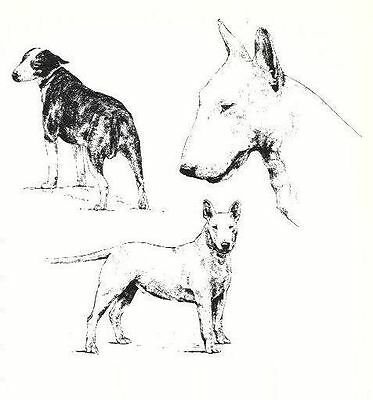 Bull Terrier - 1963 Vintage Dog Print - Matted *