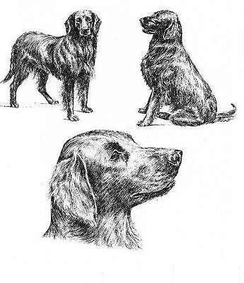 Flat Coated Retriever - 1963 Vintage Dog Print - Matted