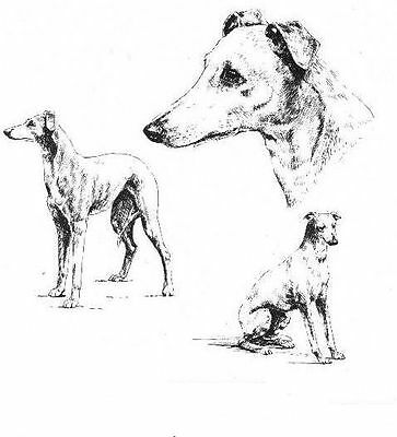 Whippet - 1963 Vintage Dog Print - Matted *