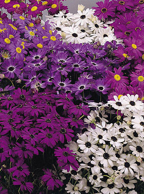 Flower Brachycome Swan River Daisy  Mixed 1.1 Gram ~ Approx 7700 Seeds