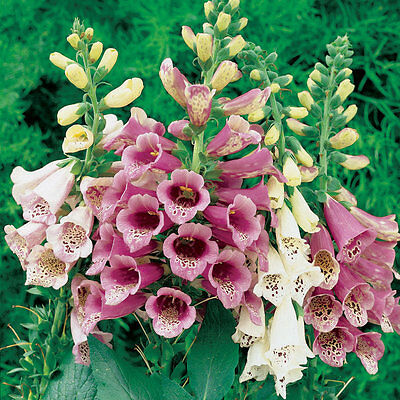 Perennial Flower Digitalis Foxglove Foxy Mixed Colors 1 Gram ~ 12,000 Seeds