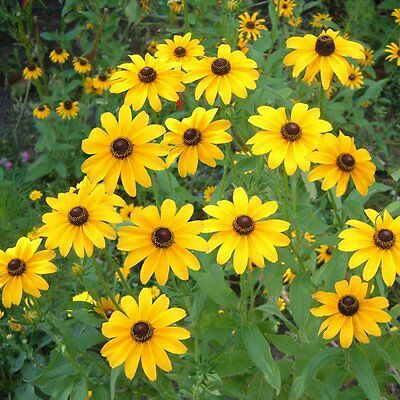 Flower Rudbeckia Hirta Black Eyed Susan - 1600 Finest Seeds