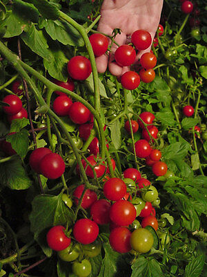 Vegetable Tomato Dwarf Variety Window Box Red 100 Finest Seeds