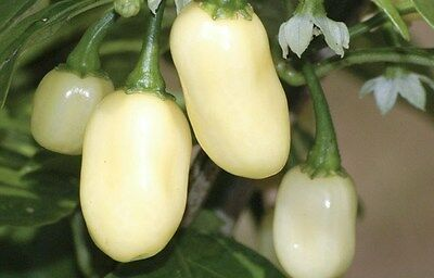 Organic Vegetable  Hot Chilli Pepper Habanero White  30 Seeds