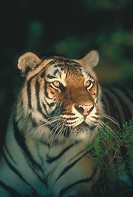 Tiger Canvas Pictures Zoo Wild Animal Lover Wall Hang Artwork Prints All Sizes