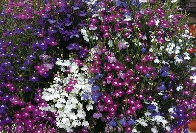 Flower Lobelia Fountain Mix  0.4 Gram ~ Approx 12,000 Seeds - Trailing
