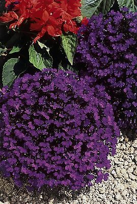 Flower Lobelia Crystal Palace  0.4 Gram ~ Approx 12,000 Flower Seeds