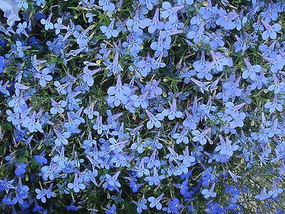 Flower Lobelia Cambridge Blue 0.4 Gram ~ Approx 12,000 Flower Seeds