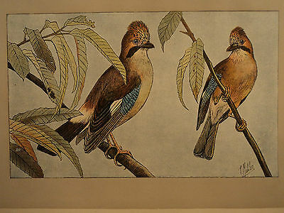 1907 Color Engraving / Jay Magpie / Eurasian Jay Red-Breast Blue Wings Birds