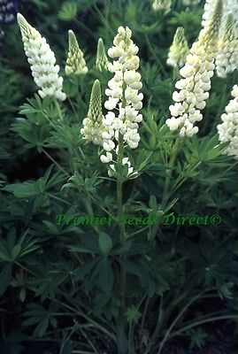 Perennial Flower Lupin Russell Noble Maiden 70 Finest Seeds