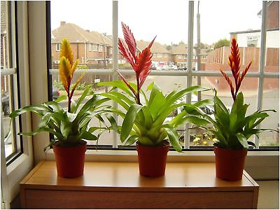 1 Tropical Vriesea Splendens Flaming Sword Evergreen Indoor House Plant in Pot