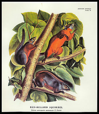 """Vintage 1967 """"the Red-Bellied Squirrel"""" Audubon Animal Book Plate"""