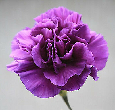 Flower Carnation Violet 350 Finest Flower Seeds