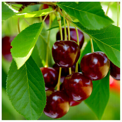 'Early Rivers' Cherry Tree 4-5ft 5L Pot,Ready to Fruit,Large Dark Juicy Cherries