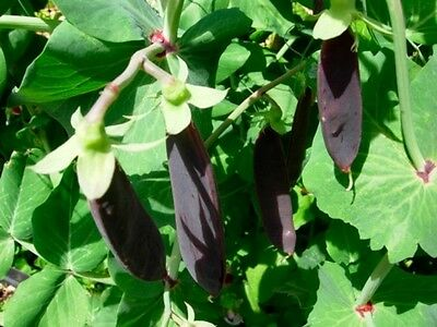 Vegetable  Pea Purple Mangetout Snow Pea  Shiraz   185 Seeds