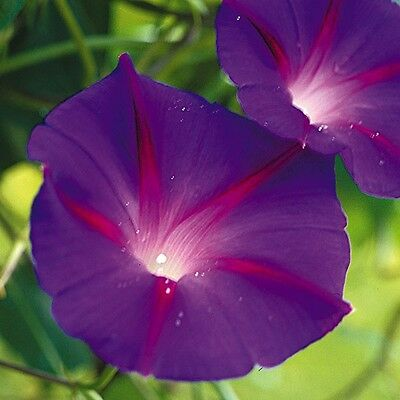 Flower Morning Glory Ipomoea Black Knight 60 Finest Seeds