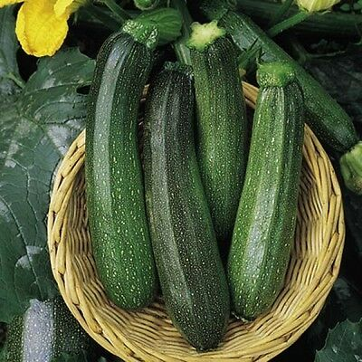 Vegetable  Courgette Green Bush  80 Finest Seeds